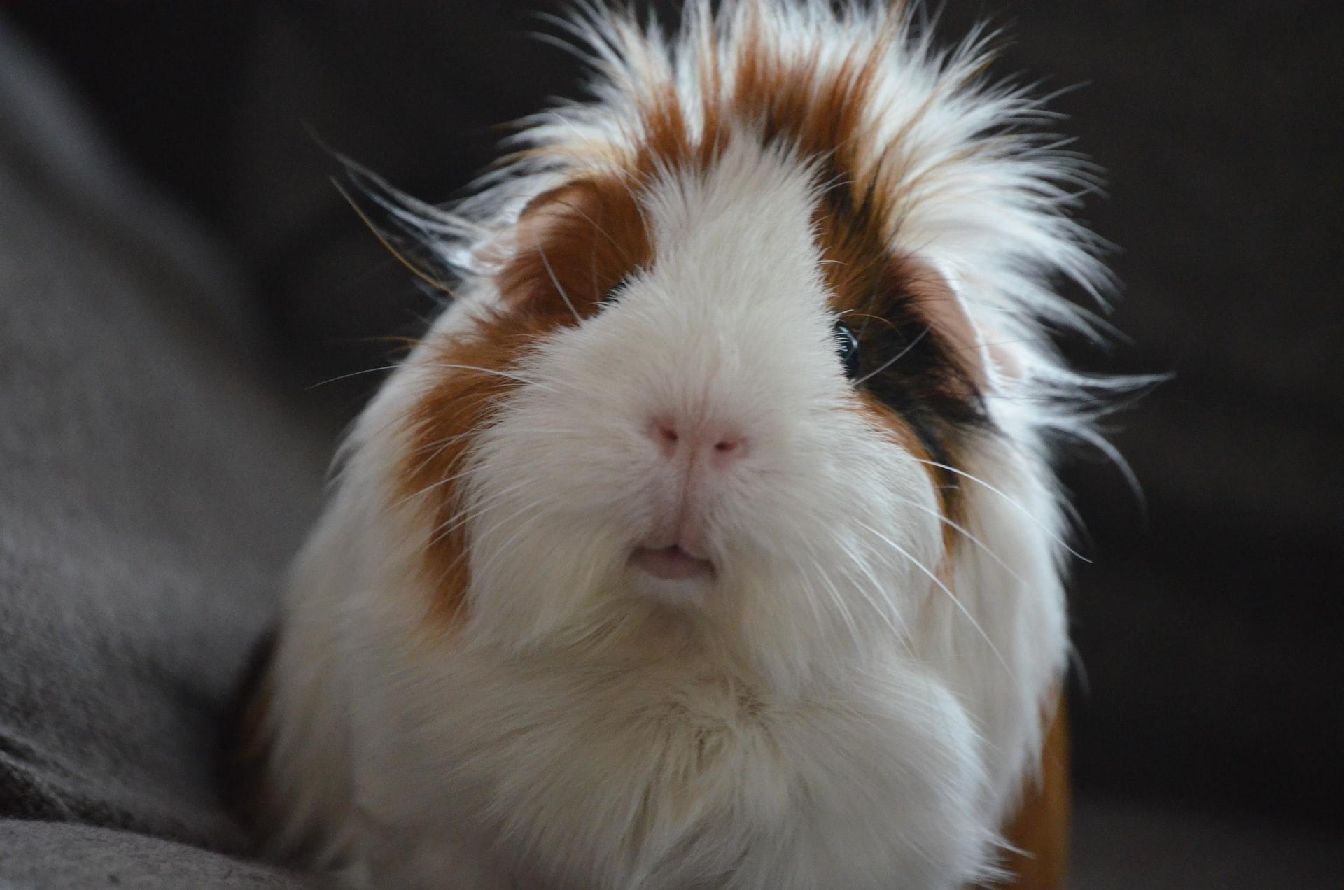 photo of a guinea pig